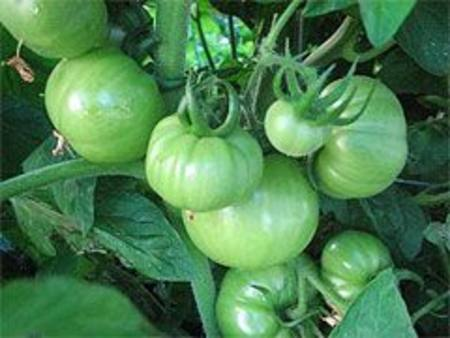 Tomatoes Green NZ