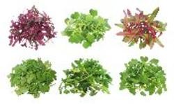 Buy Microgreen Asian 50gm PNT in NZ New Zealand.